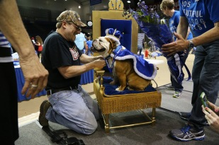 Tank, the winner of the Beautiful Bulldog Contest is dressed in a crown and cape by his owner Duane Smith of Des Moines at the conclusion of the contest on Sunday, April 19, 2015 in the Knapp Center.