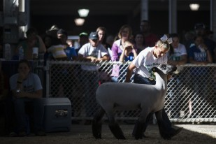 Ava Edler, 11 of State Center, shows a sheep during the 4-H showmanship competition at the Iowa State Fair on Sunday, August 13, 2017, in Des Moines.