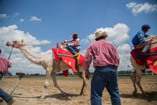 Jockeys steer their camels toward the winner's circle after competing in the annual camel, zebra, and ostrich races at Prairie Meadows on Sunday, July 16, 2017, in Altoona.